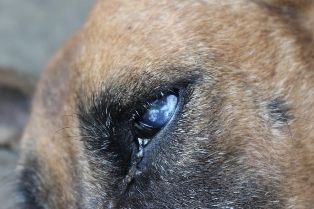 Oogdrukmeting hond - Dierenarts Boschhoven