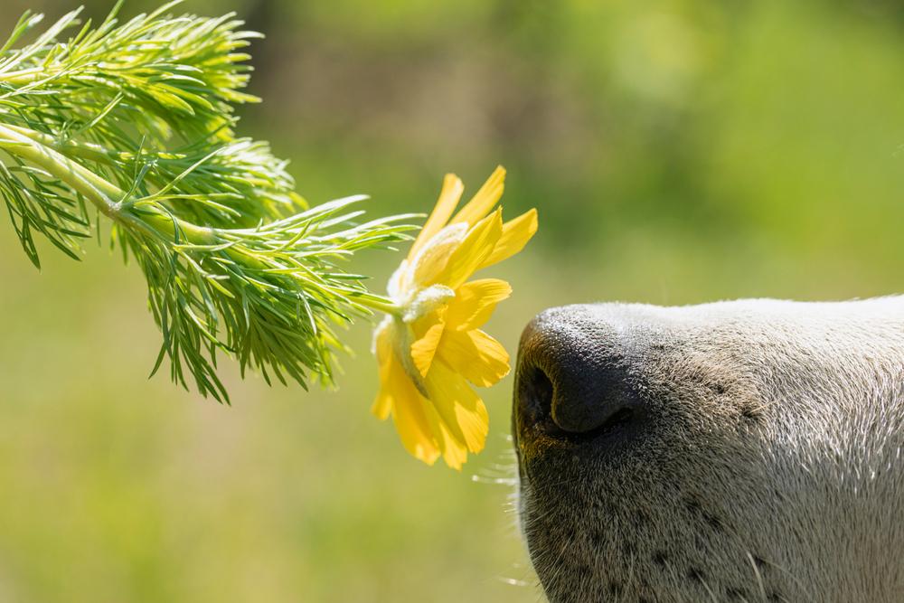 Hond hooikoorts - Dierenarts Boschhoven