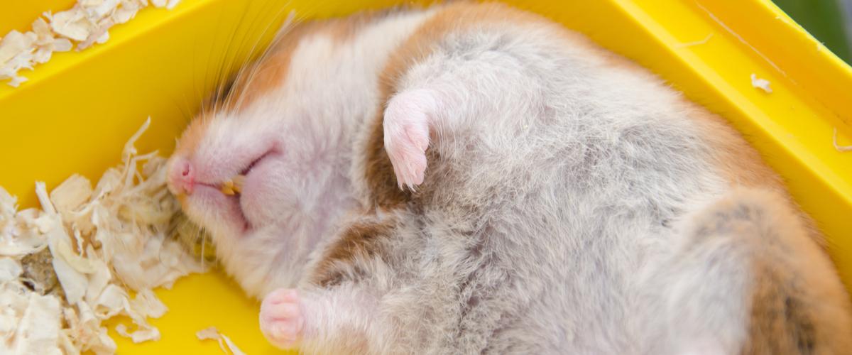 Syrische hamster winterslaap - Dierenarts Boschhoven