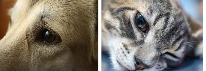 Boschhoven Kliniek voor Dieren oogheelkunde